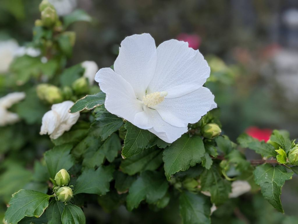 White flower - Picture taken by the Google Pixel 4a smartphone